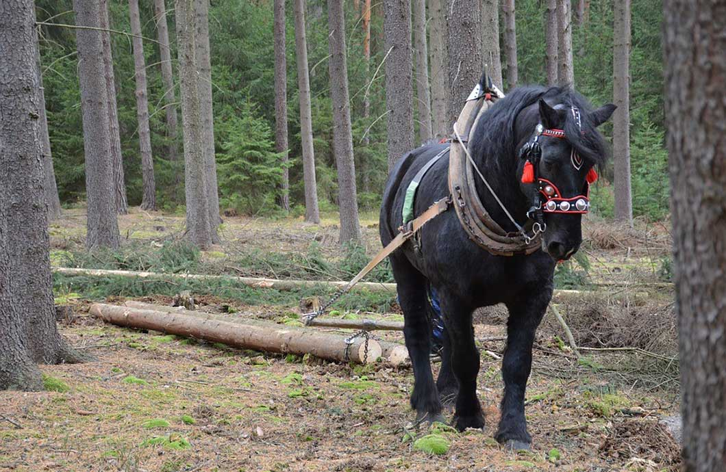 4 Advantages Of Horse Logging Over Modern Forestry Equipment My Little Salesman